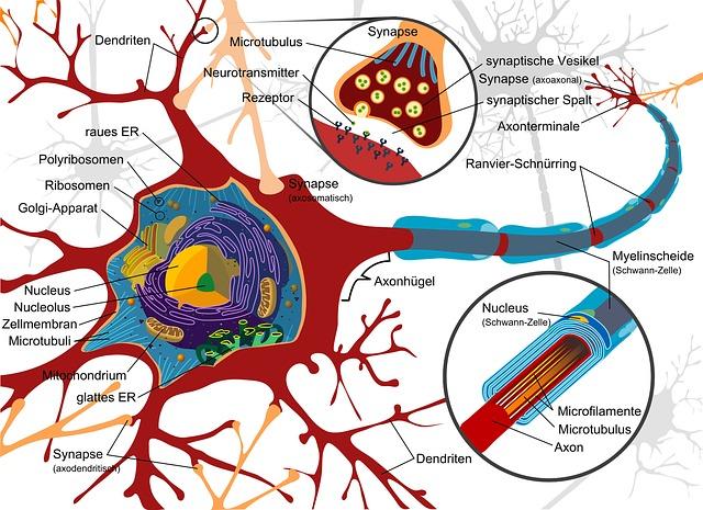 脳の神経細胞(シナプス)のイラスト